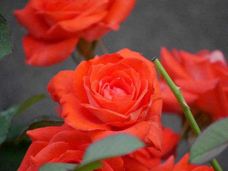 ローラ(Laura)の2番花が増えてきた。木立バラ。2020年-011.jpg
