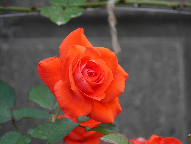 ローラ(Laura)の2番花が増えてきた。木立バラ。2020年-013.jpg