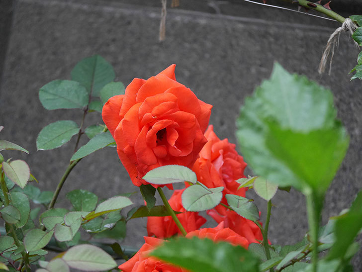ローラ(Laura)の2番花が増えてきた。木立バラ。2020年-014.jpg