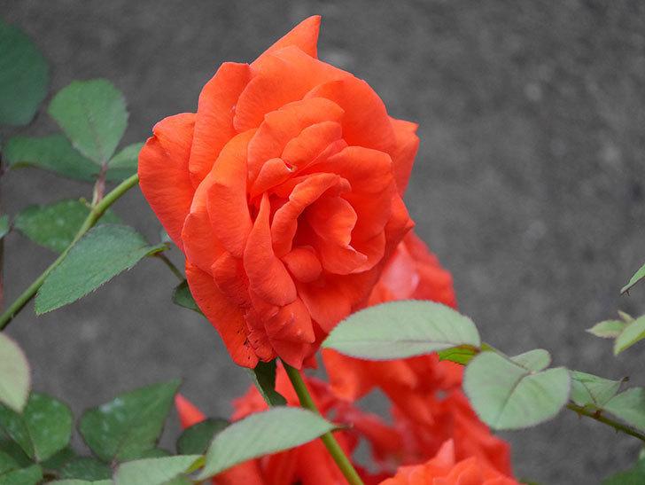 ローラ(Laura)の2番花が増えてきた。木立バラ。2020年-015.jpg