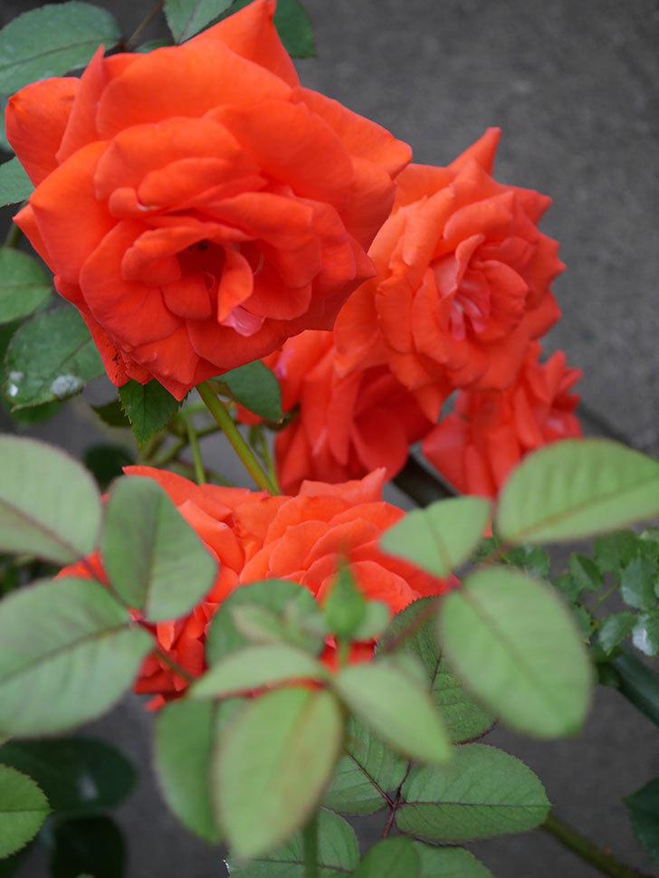 ローラ(Laura)の2番花が増えてきた。木立バラ。2020年-016.jpg