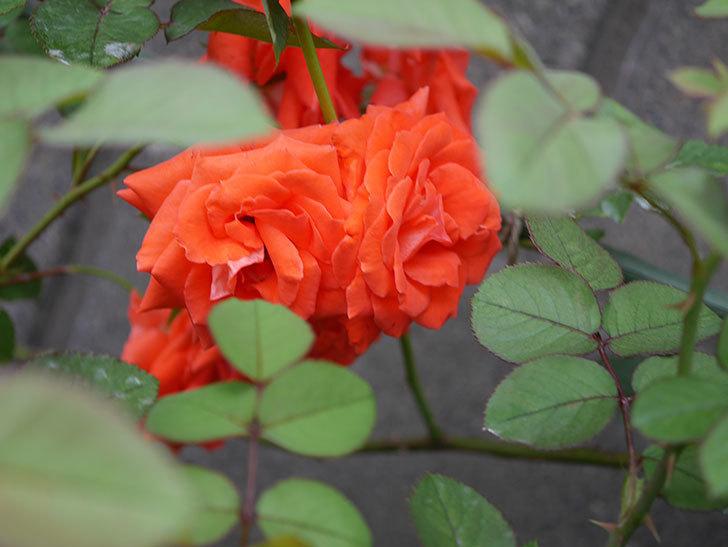 ローラ(Laura)の2番花が増えてきた。木立バラ。2020年-017.jpg