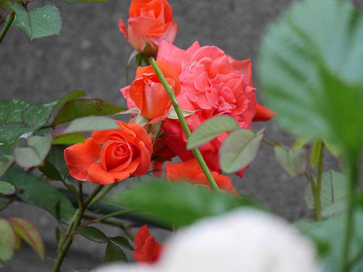ローラ(Laura)の2番花が房で咲いた。木立バラ。2020年-002.jpg