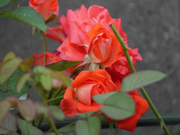 ローラ(Laura)の2番花が房で咲いた。木立バラ。2020年-005.jpg