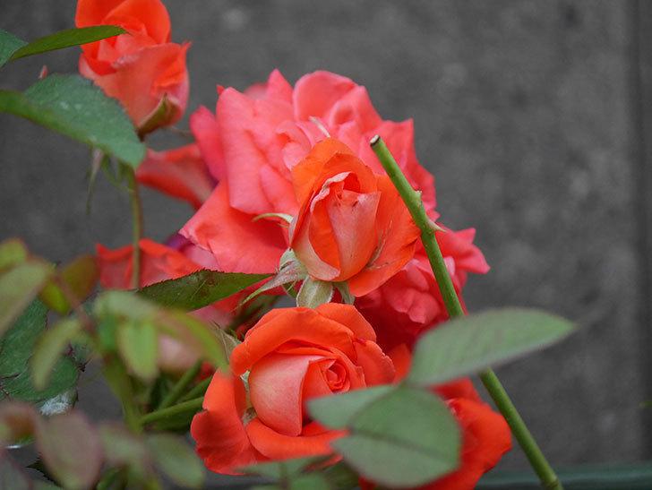 ローラ(Laura)の2番花が房で咲いた。木立バラ。2020年-006.jpg