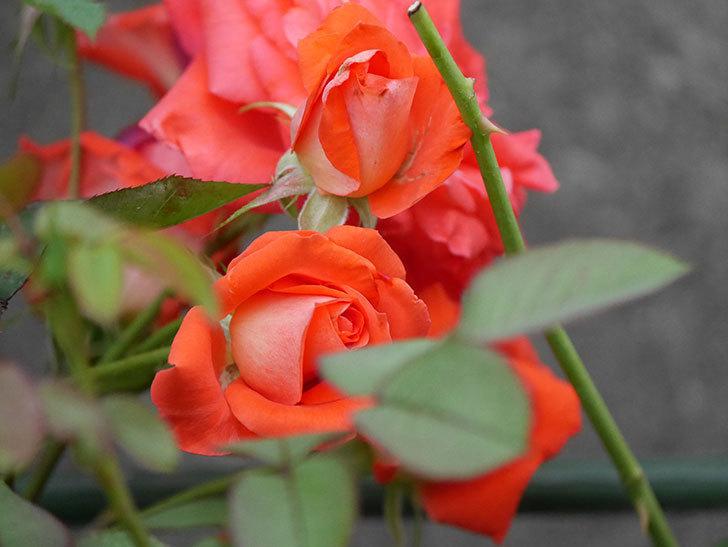 ローラ(Laura)の2番花が房で咲いた。木立バラ。2020年-007.jpg