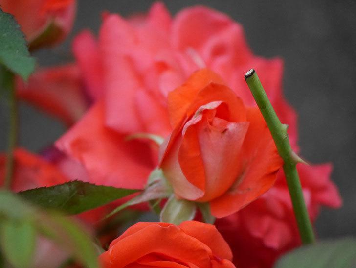 ローラ(Laura)の2番花が房で咲いた。木立バラ。2020年-008.jpg