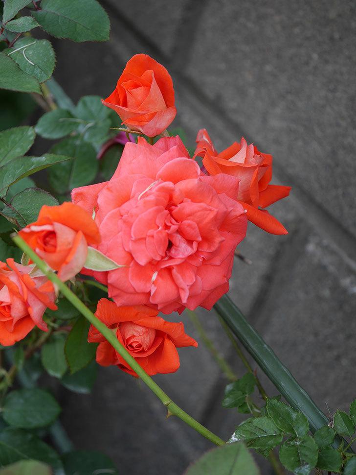 ローラ(Laura)の2番花が房で咲いた。木立バラ。2020年-009.jpg
