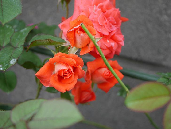 ローラ(Laura)の2番花が房で咲いた。木立バラ。2020年-010.jpg