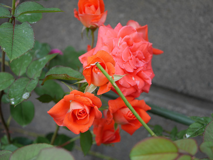 ローラ(Laura)の2番花が房で咲いた。木立バラ。2020年-011.jpg