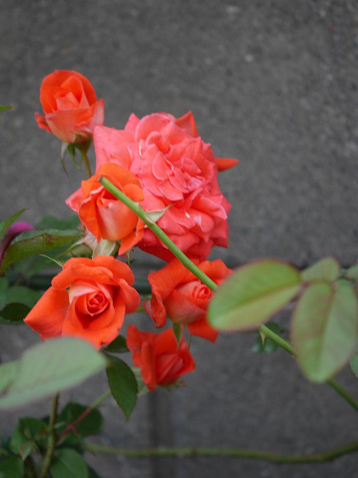 ローラ(Laura)の2番花が房で咲いた。木立バラ。2020年-012.jpg