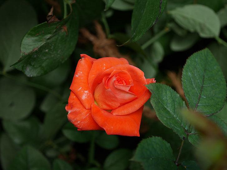 ローラ(Laura)の夏花が咲いた。木立バラ。2020年-001.jpg
