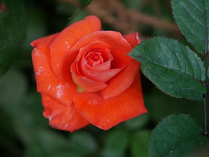 ローラ(Laura)の夏花が咲いた。木立バラ。2020年-002.jpg