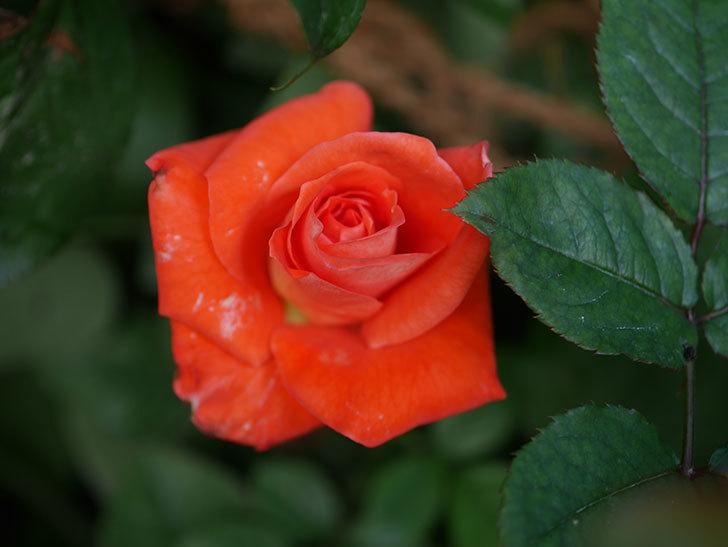 ローラ(Laura)の夏花が咲いた。木立バラ。2020年-003.jpg