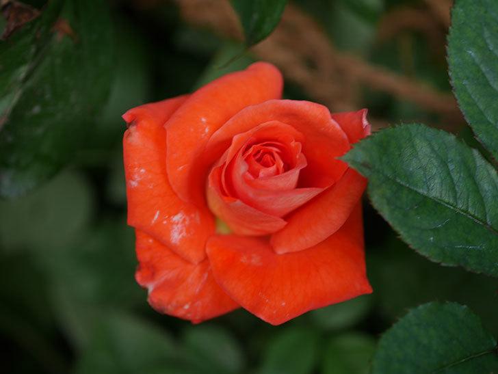 ローラ(Laura)の夏花が咲いた。木立バラ。2020年-004.jpg