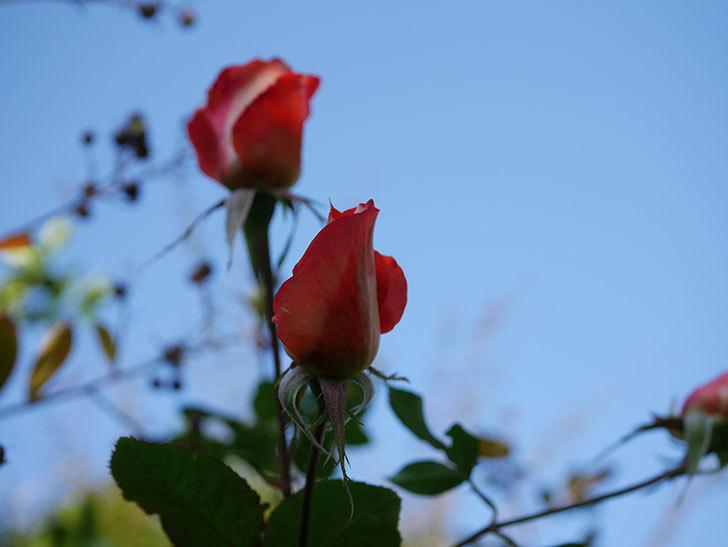 ローラ(Laura)の秋花がまた咲いた。木立バラ。2020年-002.jpg