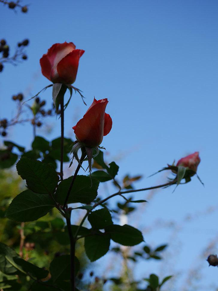 ローラ(Laura)の秋花がまた咲いた。木立バラ。2020年-003.jpg
