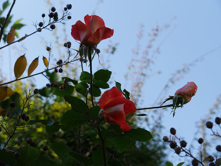 ローラ(Laura)の秋花がまた咲いた。木立バラ。2020年-007.jpg