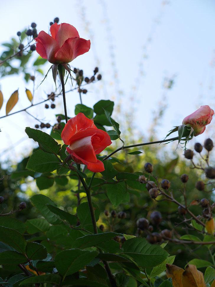 ローラ(Laura)の秋花がまた咲いた。木立バラ。2020年-008.jpg