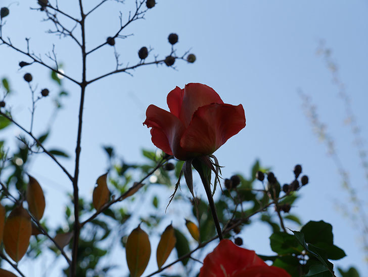 ローラ(Laura)の秋花がまた咲いた。木立バラ。2020年-009.jpg