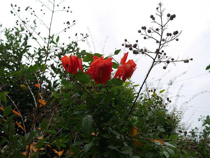 ローラ(Laura)の秋花がまた咲いた。木立バラ。2020年-010.jpg