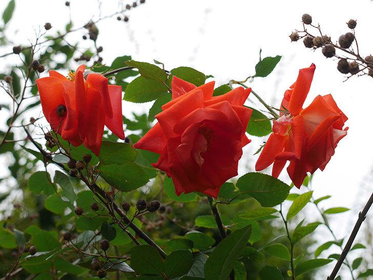 ローラ(Laura)の秋花がまた咲いた。木立バラ。2020年-011.jpg