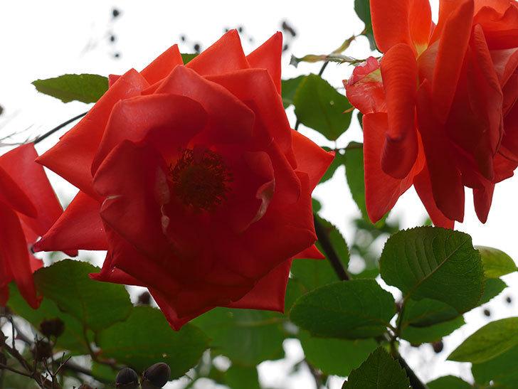 ローラ(Laura)の秋花がまた咲いた。木立バラ。2020年-012.jpg