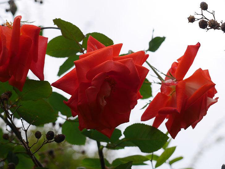 ローラ(Laura)の秋花がまた咲いた。木立バラ。2020年-013.jpg