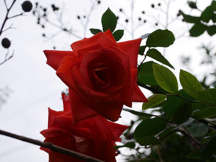 ローラ(Laura)の秋花がまた咲いた。木立バラ。2020年-014.jpg