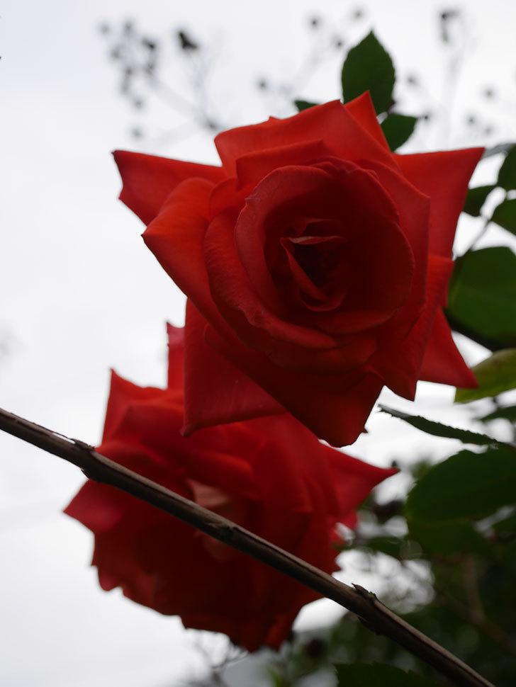 ローラ(Laura)の秋花がまた咲いた。木立バラ。2020年-016.jpg