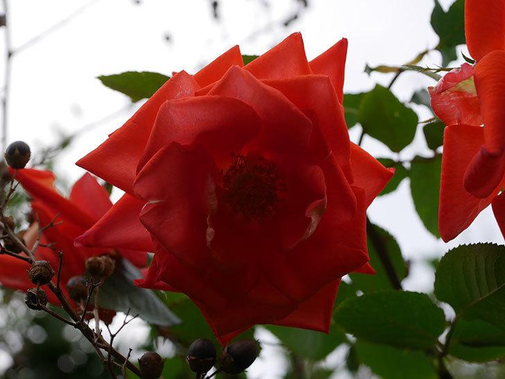 ローラ(Laura)の秋花がまた咲いた。木立バラ。2020年-018.jpg