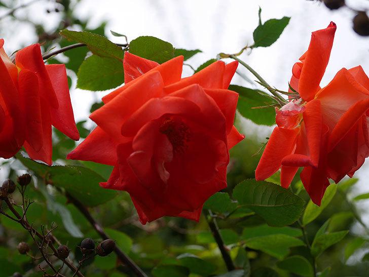 ローラ(Laura)の秋花がまた咲いた。木立バラ。2020年-022.jpg