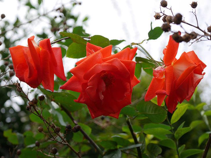 ローラ(Laura)の秋花がまた咲いた。木立バラ。2020年-023.jpg