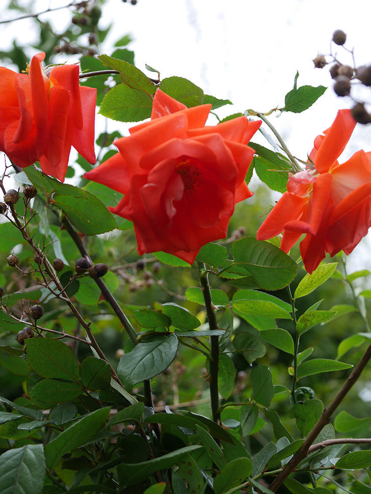ローラ(Laura)の秋花がまた咲いた。木立バラ。2020年-024.jpg