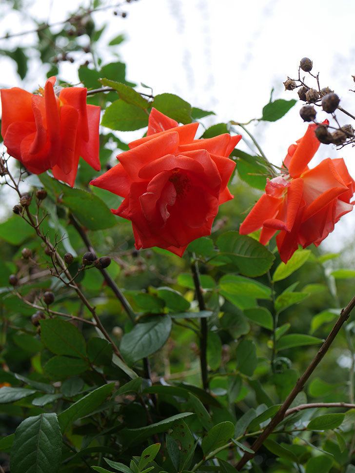 ローラ(Laura)の秋花がまた咲いた。木立バラ。2020年-025.jpg