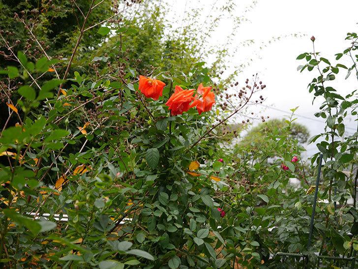 ローラ(Laura)の秋花がまた咲いた。木立バラ。2020年-028.jpg