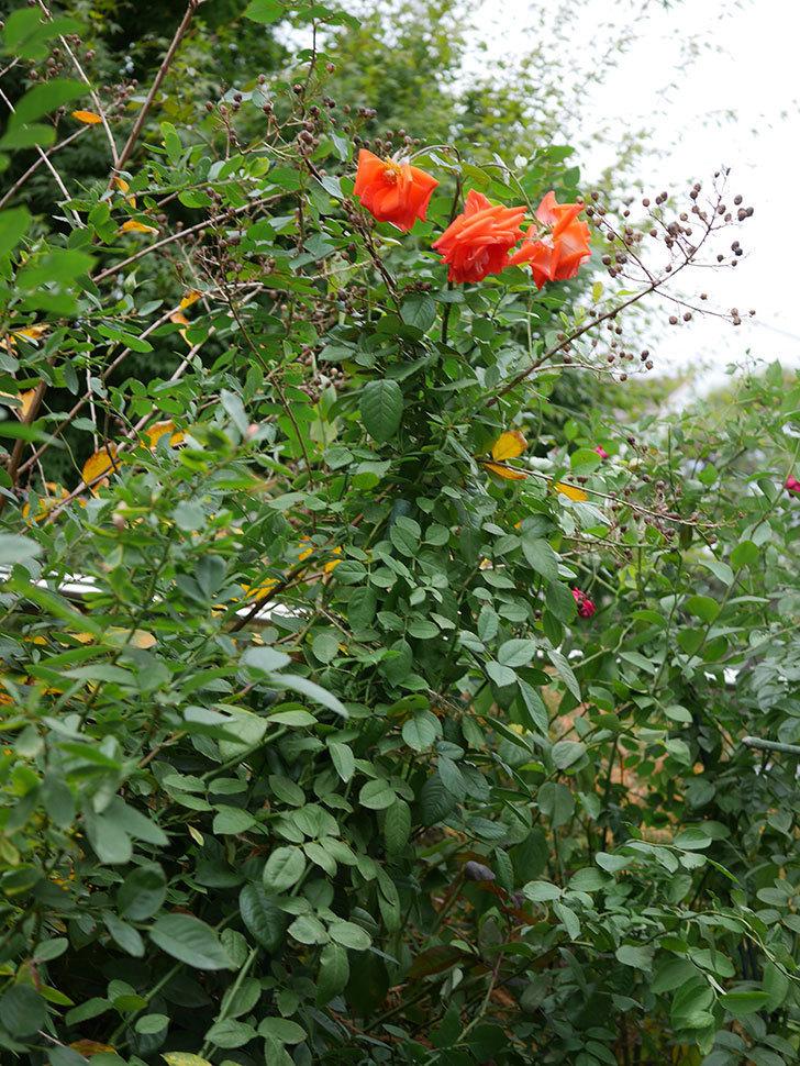 ローラ(Laura)の秋花がまた咲いた。木立バラ。2020年-029.jpg