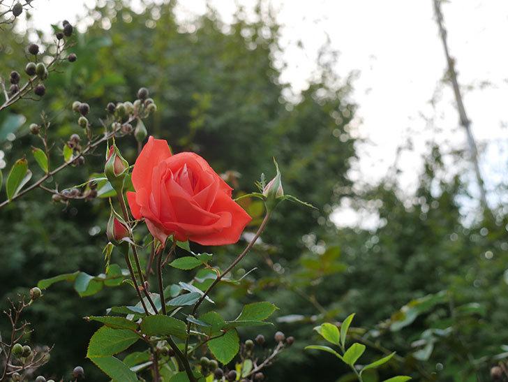 ローラ(Laura)の秋花が咲いた。木立バラ。2020年-001.jpg