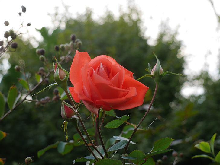 ローラ(Laura)の秋花が咲いた。木立バラ。2020年-002.jpg