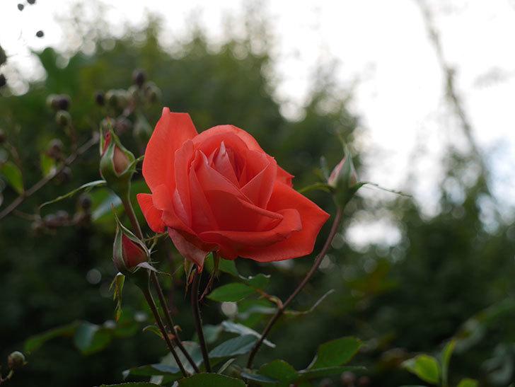 ローラ(Laura)の秋花が咲いた。木立バラ。2020年-003.jpg