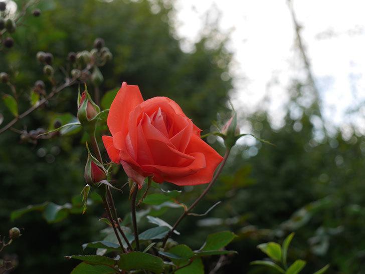 ローラ(Laura)の秋花が咲いた。木立バラ。2020年-004.jpg