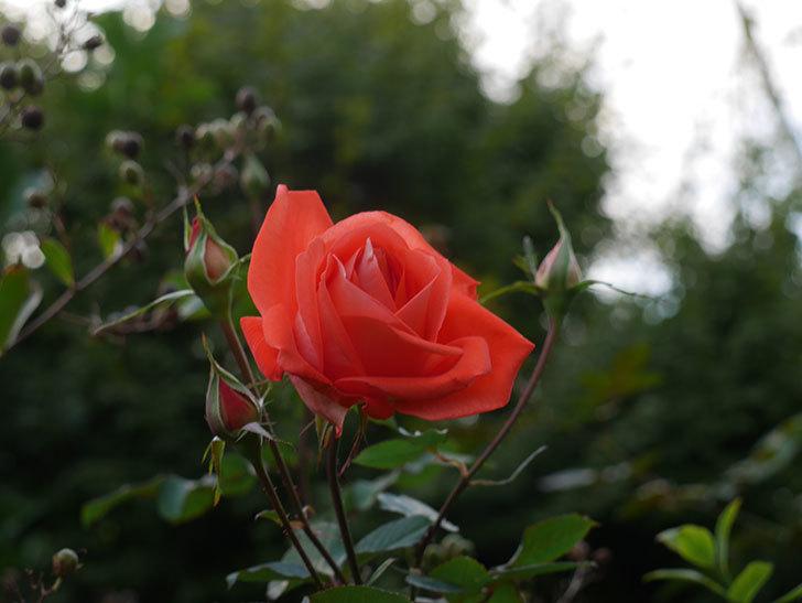 ローラ(Laura)の秋花が咲いた。木立バラ。2020年-005.jpg