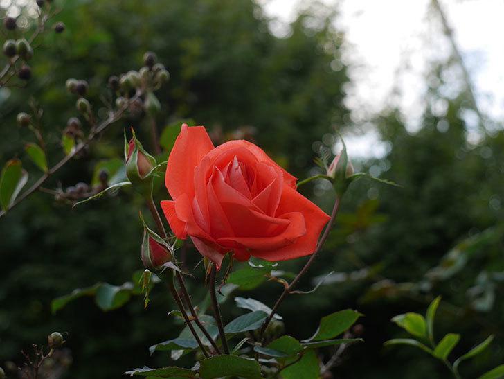 ローラ(Laura)の秋花が咲いた。木立バラ。2020年-006.jpg