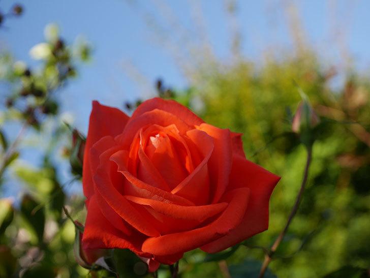 ローラ(Laura)の秋花が咲いた。木立バラ。2020年-007.jpg
