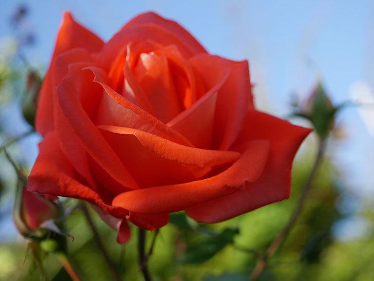 ローラ(Laura)の秋花が咲いた。木立バラ。2020年-008.jpg