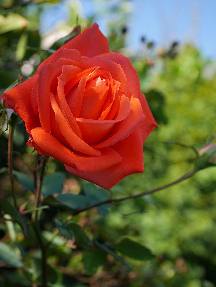 ローラ(Laura)の秋花が咲いた。木立バラ。2020年-012.jpg