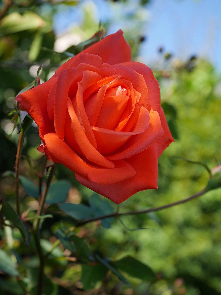 ローラ(Laura)の秋花が咲いた。木立バラ。2020年-013.jpg