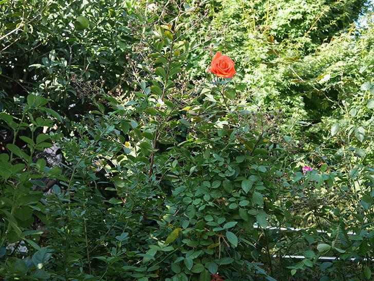 ローラ(Laura)の秋花が咲いた。木立バラ。2020年-015.jpg