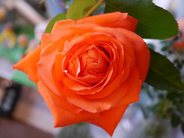 ローラ(Laura)の秋花が咲いた。木立バラ。2020年-017.jpg