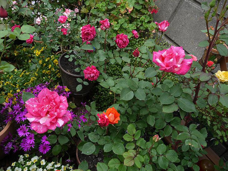 ローラとモダン・タイムズの花が増えてきた。2017年-10.jpg